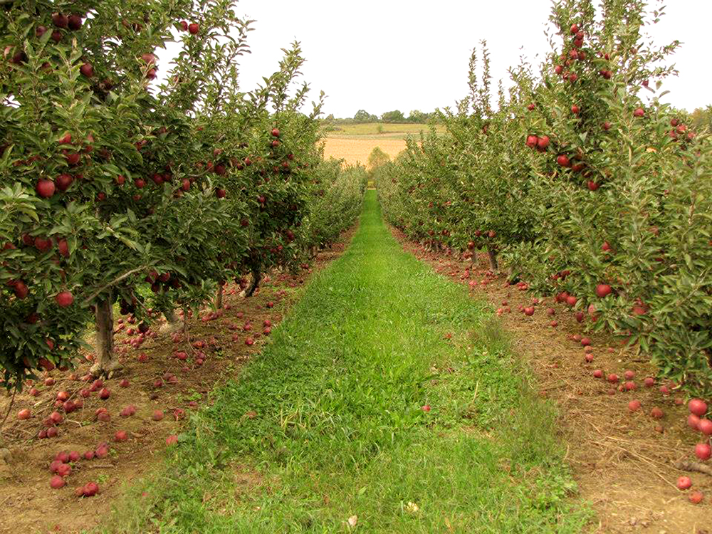 Apple-orchard-apples-on-trees