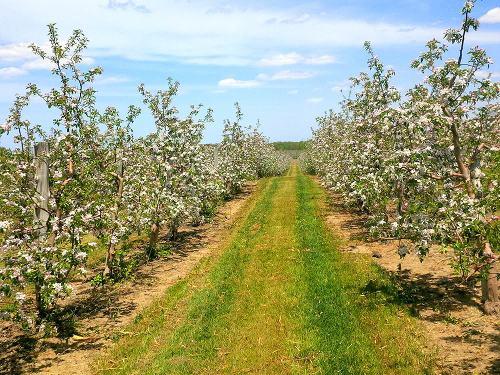 Apple-orchard-blossoms