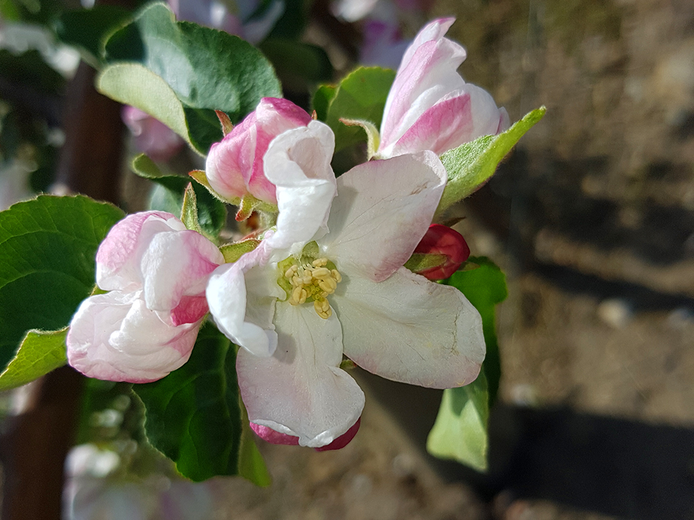 apple-blossoming-flowers